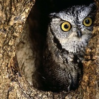 Build a Nest Box for the Eastern Screech Owl