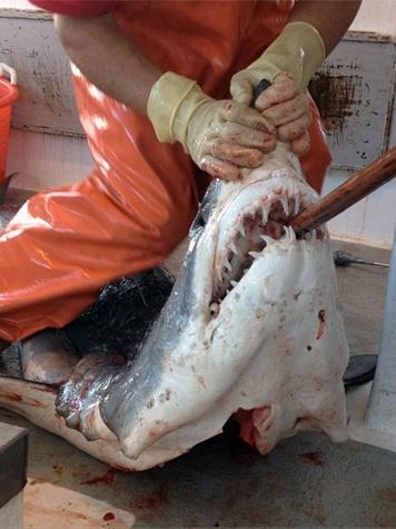 zimmern shark