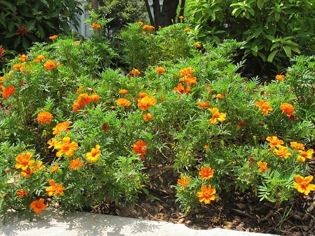 9. Katie Oxford Willem Kegge garden August 2014 Marigolds
