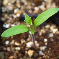 Photo of tomato seedling
