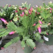 Ready to Jingle plants as gifts December 2014 Christmas cacti at Buchanan's