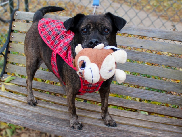 Sheeba the dog holding a toy on a bench APA! Austin Pets Alive pet of the week