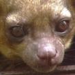 Kinkajou exotic pet