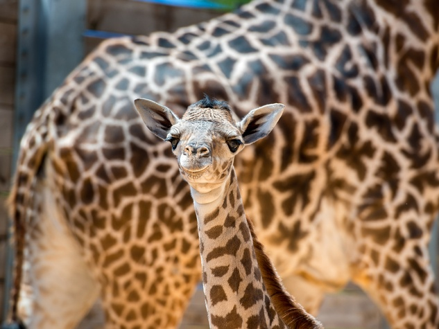 3 baby giraffe at Houston Zoo August 2014