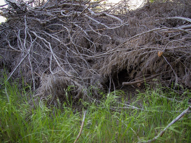 Photo of brush pile with wildlife entry point