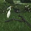 Avery Island: Egret