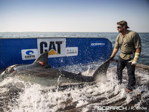 Katharine shark great white capture August 2013