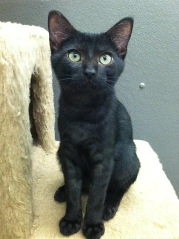 Pet of the week Valdez the cat from Austin Pets Alive