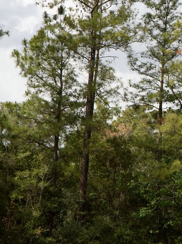 The Woodlands trees forest dense foliage