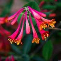 Photo of Texas Coral Honeysuckle flowers