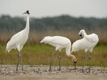 Aransas Wildlife Refuge whooping cranes birds