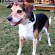 Major, beagle, Citizens for Animal Protection Pethouse Pet of the Week