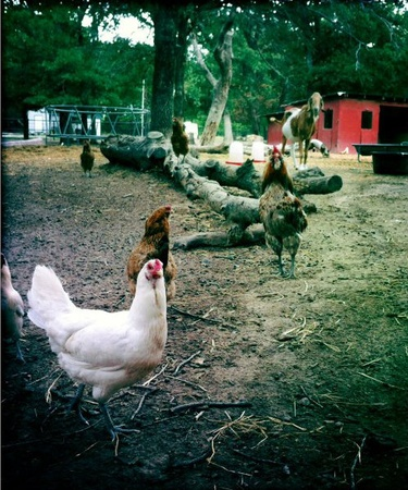 Chickens at Fruth Farm Southwest