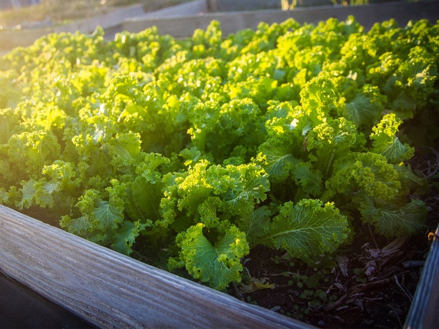 Photo of raised bed of mustard greens