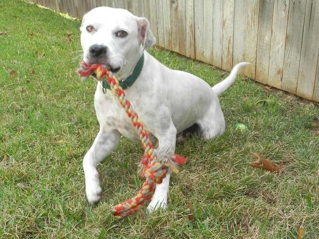APA Austin Pets Alive! dog Queen Elizabeth with toy