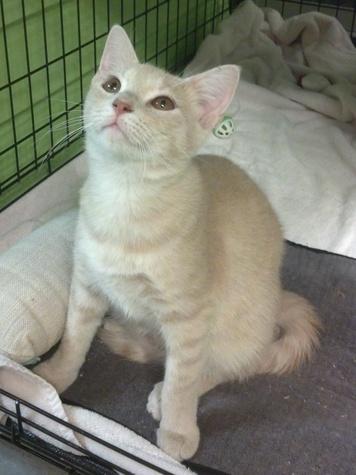 Austin Pets Alive's Tigre the cat