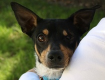 Jennifer Chininis: This Chihuahua mix is feeling lucky about finding an adoptive family