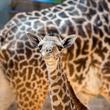 3 baby giraffe at Houston Zoo August 2014