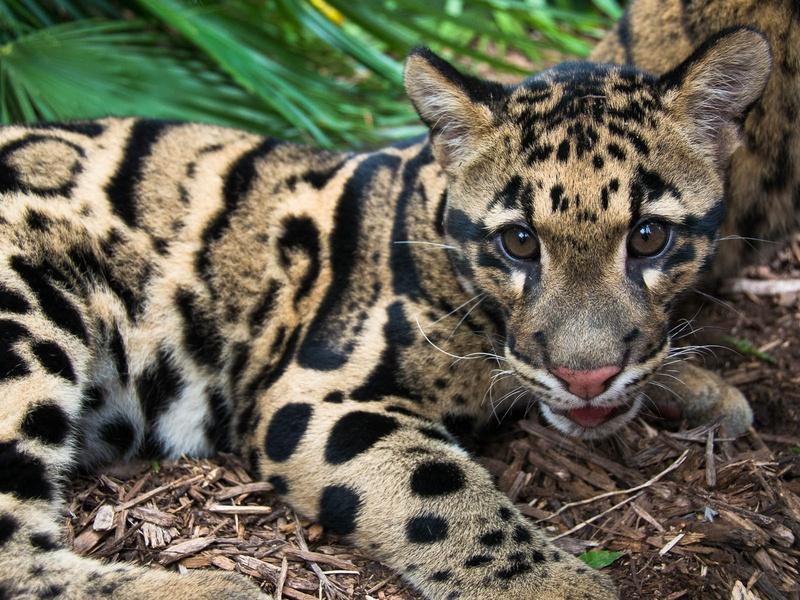 cute clouded leopard cubs