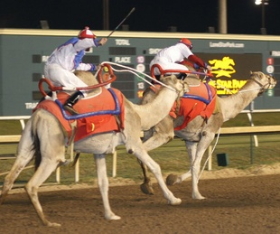 Lone Star Park camels