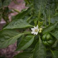 Sweet bell pepper blossom and fruit