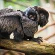 baby primates at the Houston Zoo December 2014 Goeldi_s_Monkey_Baby