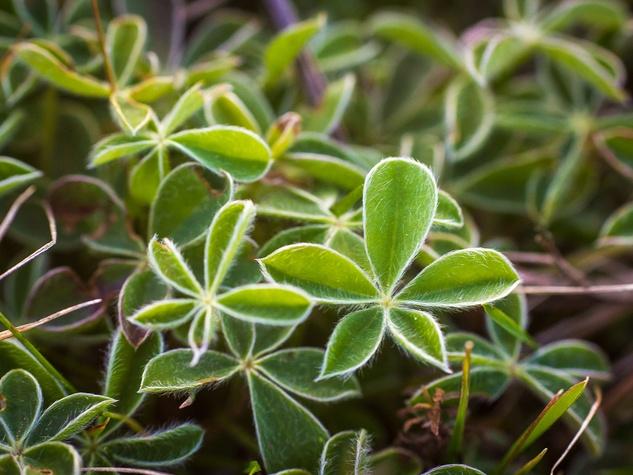 Photo of bluebonnet leaves