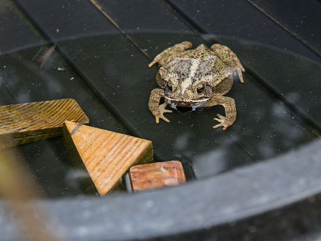 Toad in water.