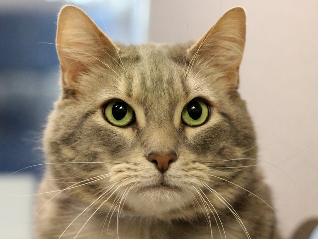 Harley the cat at SPCA of Texas