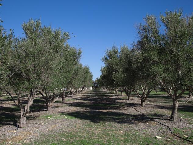 Austin Photo Set: News_Tavaner_olive oil_part 2_feb 2012_orchard