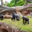 Houston, Houston Zoo Gorillas, May 2015, gorilla family in outdoor habitat