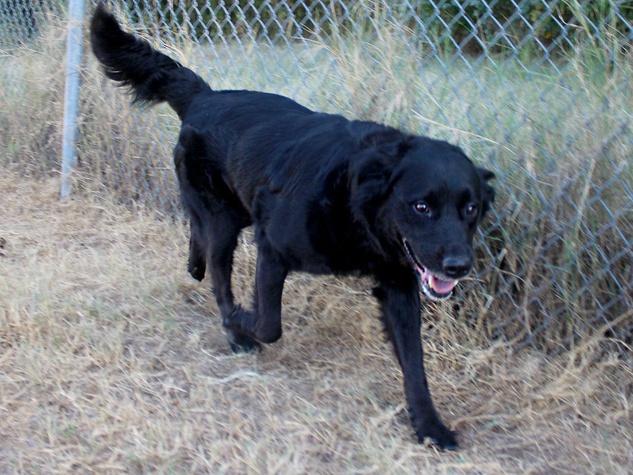 Austin Pets Alive pet of the week Amie the retriever