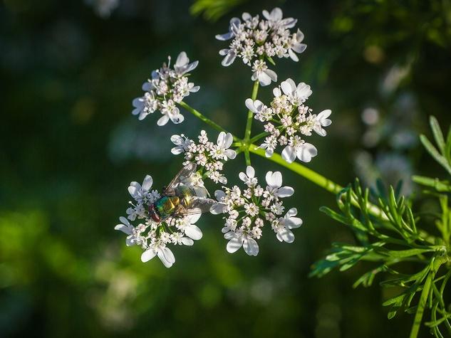 Photo of fly on cilantro