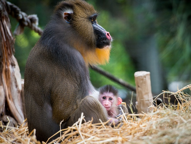baby primates at the Houston Zoo December 2014 Mandrill_Baby_Dec_2014
