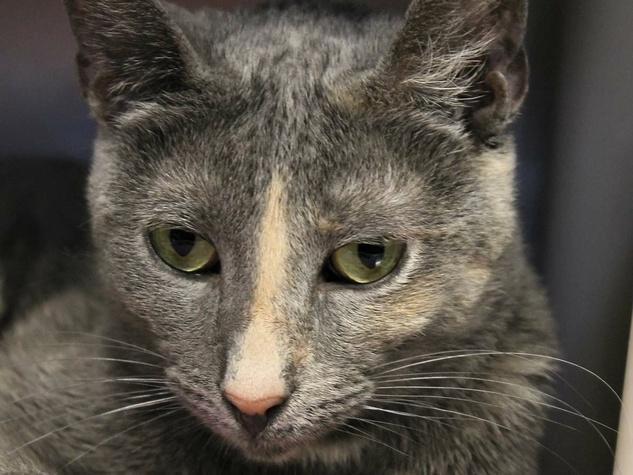 Ashley the cat at APA! shelter headshot