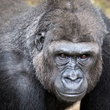 Houston Zoo gorillas profiles February 2015 Julie_Larsen_Maher_9079h_Western_Lowland_Gorilla_Sufi