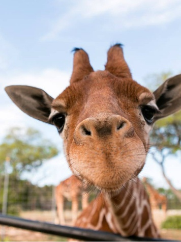 One of twin giraffes at Natural Bridge Wildlife Ranch close to camera