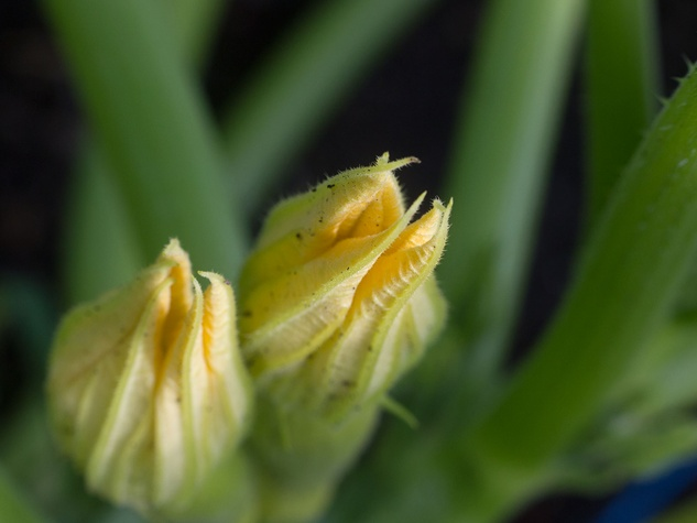 Squash plant flower
