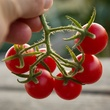 Cluster of Texas Wild tomatoes