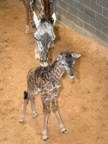 1 Houston Zoo Masai giraffe born to Tyra February 2014