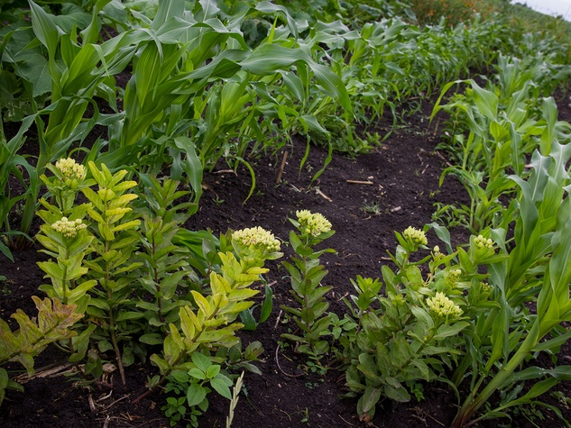 Photo of milkweed among rows of corn