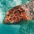 Belize_Loggerhead_Sea_Turtle