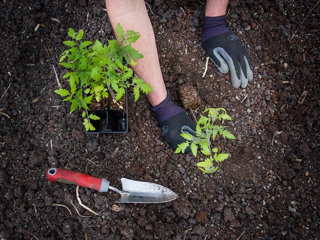 Picture of tomato seedling being planted