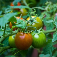 Photo of Punta Band tomatoes growing on a vine