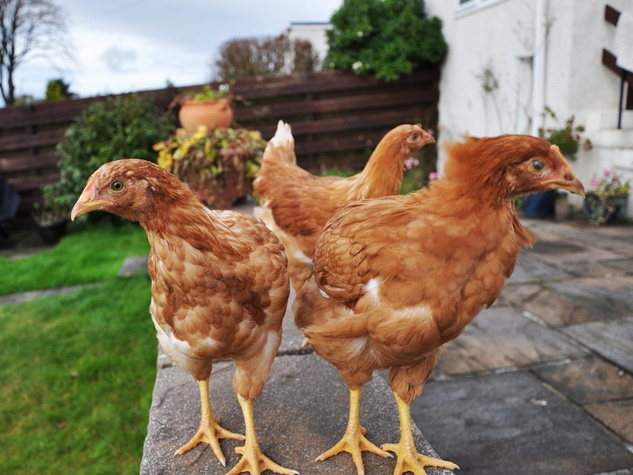 chicken hen yard