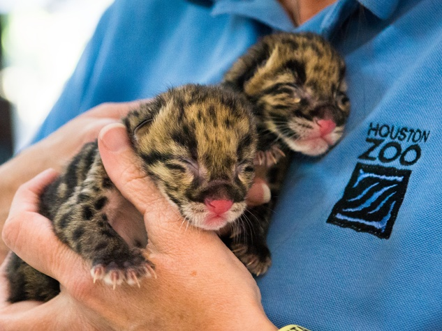 Clouded Leopard Cubs born at the Houston Zoo June 2014