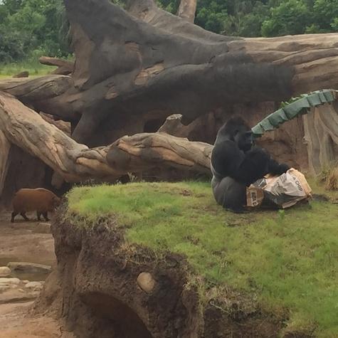 Houston Zoo, gorilla exhibit, May 2015
