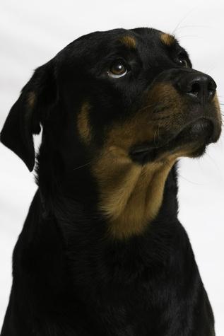 Bernard APA Rottweiler