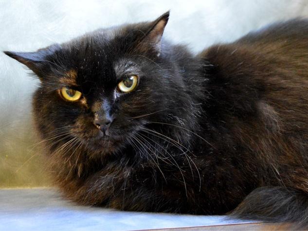 Furline the Austin Pet of the Week cat with grumpy look