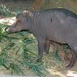 Houston Zoo exhibit paintings by elephants and orangutans April 2014 Remley Babirusa-0066